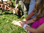 krmení žiraf